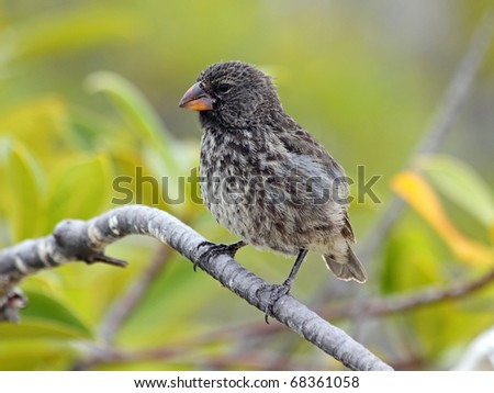A Darwin's Finch (also known as the Galapagos Finch or as Geospizinae) in the Galapagos Islands - stock photo