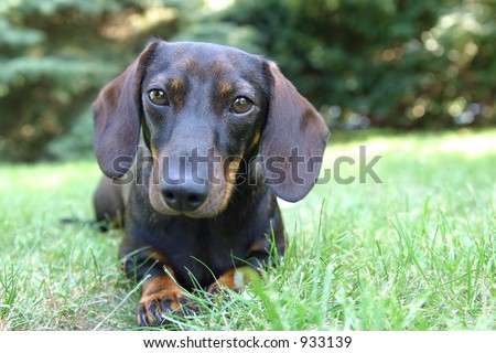 a daschund dog lying in the grass.
