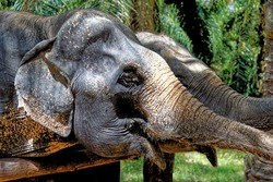 A day with elephants at Krabi Elephant House Sanctuary - Thailand. Travel destination in Krabi area - 27th of January 2020