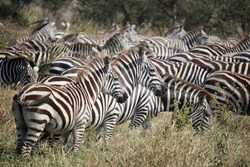 a dazzle of zebra gathered on a prairie