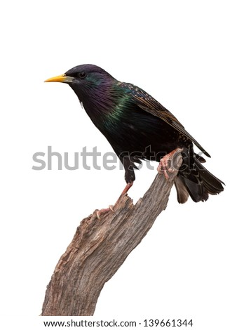 A dazzling European Starling posed on driftwood. Though primarily black with a bright yellow beak, the birds have iridescent purplish-green and yellow streaked feathers. White background.