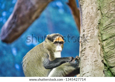 A De Brazza Monkey, a primate, sits in a man made tree in a zoo enclosure in the primate house looking at his surroundings