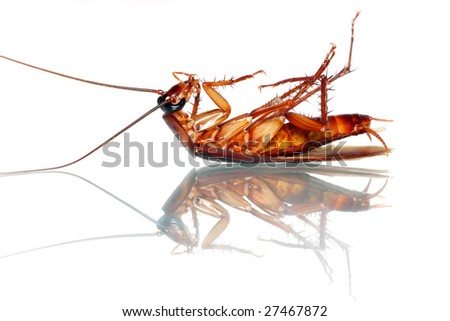 A dead cockroach isolated on white background.