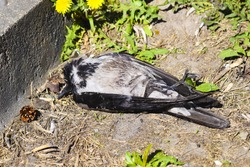A dead crow lies on the ground. Bird flu. The killed crow.