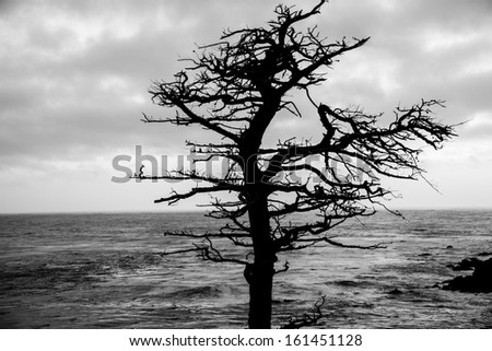 A dead Cypress Tree along the coast of California on the 17 Mile Drive.