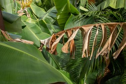 A dead dried banana plant leaf offset by vibrant healthy green leaves in a tropical forest near Bridgetown, Barbados. Dramatic and colorful jungle shot, slight vignette.
