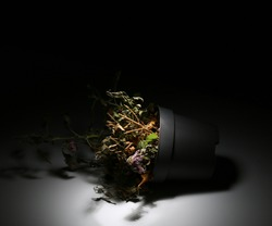 A dead flower in a vase lies on a black background. The wilted plant is illuminated with white light. A dried flower in a pot fell in the dark glow with light. Dry houseplant.