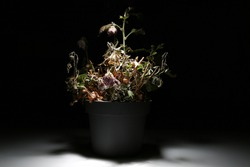 A dead flower in a vase on a black background is illuminated by white light. A dried flower in a pot in the dark glows with light. Dry komnatnoe plant.