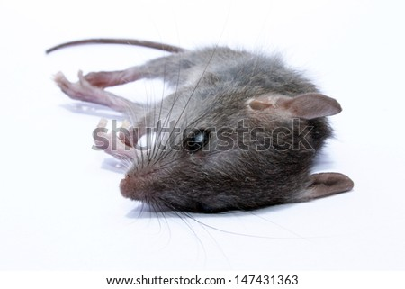 A dead grey house or field mouse AKA Mus musculus. The common mouse, one of the most numerous species of the genus Mus.