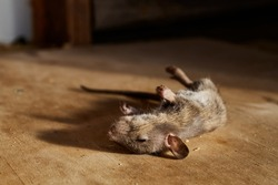 A dead mouse lies on a wooden plywood background and casts a shadow. Awful year of the rat. An animal poisoned with poison.