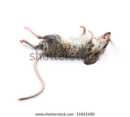 A Dead Mouse with Feet to the Sky Isolated on White Background