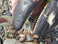 A dead porpoises washed up onto the rocks at Portrane and Donebate cliff walk. They are small toothed whales that are very closely related to oceanic dolphins.