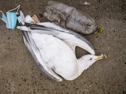 A dead seagull or bird at the edge of the water next to plastic bottles (PET)and a face mask.. Plastic pollution concept.