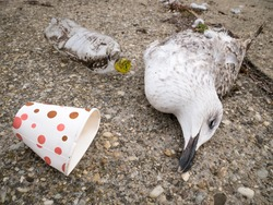 A dead seagull or bird at the edge of the water next to plastic waste.. Plastic pollution concept.