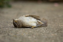 A dead specimen of Passer domesticus, or house sparrow. It is one of the usual birds in rural and urban environments, but its population is in decline, and its existence is threatened. Aragon, Spain.