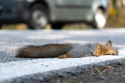 A dead squirrel lies on the road, just been killed by a car. Death of wild animals on the roads.