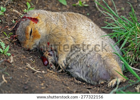 a dead squirrel on the ground with blood