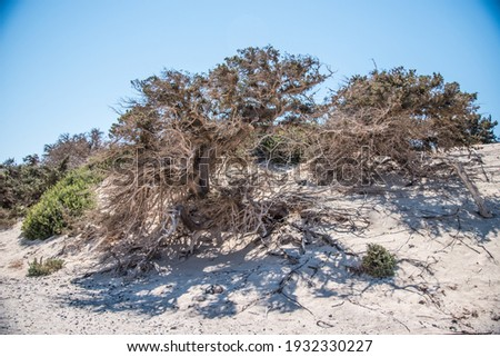 A dead tree on the uninhabited island Chrissi in the south of Crete, in Greece