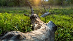 A dead tree trunk lying on the ground with green grass, sunlight
