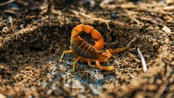 A deadly species of scorpion found here in South Africa. Cape thick tailed scorpion.