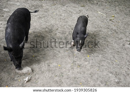 A decorative black pig looks directly at the photographer through the lens. The pig walks on straw and earth, well-groomed and well-fed. A pig and a pig are walking side by side, a family of pigs.