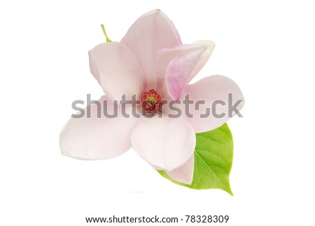A decorative magnolia bloom on white