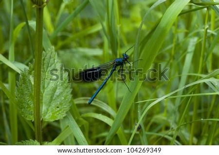a deep blue dragon fly and deep green grass
