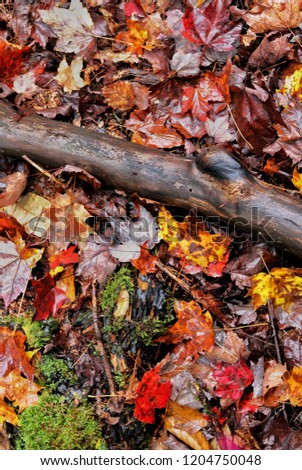 A deep brown branch surrounded by the colored leaves of fall in New York.  #1204750048