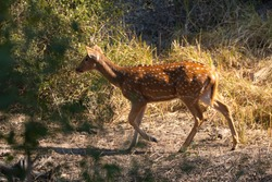 A deer at Bharatpur bird sanctuary, spotted alone