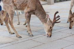 A deer eating a cracker that fell on the street in Nara Park.