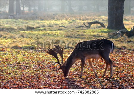 A deer feeding at Dunham Massey National Trust, England - Autumn/Winter #742882885