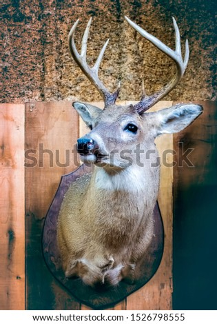 A deer head with antlers hanging on rustic wood wall. This specimen has undergone taxidermic treatment and posed in a proud, prize-winning, position. #1526798555