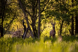 a deer in the forest looking at the camera in spring season. wild creature capreolus capreolus.