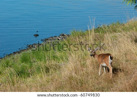 A deer pauses while feeding next to a lake