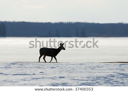 A deer wandering in the elk island national park in winter, edmonton, alberta, canada