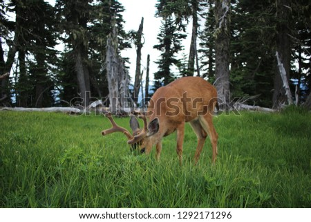 A Deer with velvet antlers, took this in hurricane ridge Washington also, lovely picture