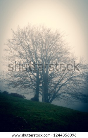 A defoliated beech on a foggy and gloomy autumn day. matese mounts, Campania, Europe, Italy
