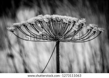 a delicate umbrella flower of a garden herb plant Dill, used in European kitchen cooking, its leaves are aromatic and are used to flavor many foods like salads, black and white photo