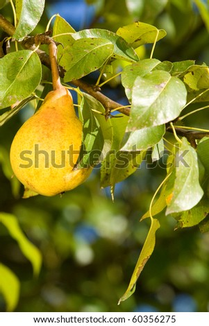 A delicious and ripe pear on tree branch.