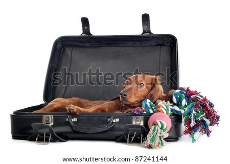 A delightful view of a small, naughty Dachshund dog playfully peering out from inside a black suitcase.