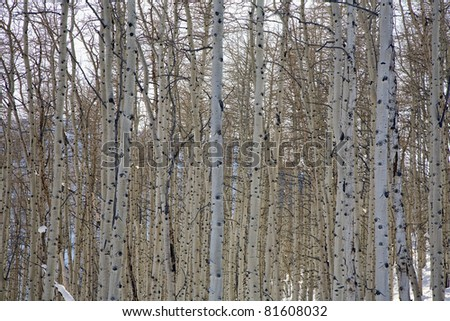 A dense forest of aspen trunks in the wintertime.