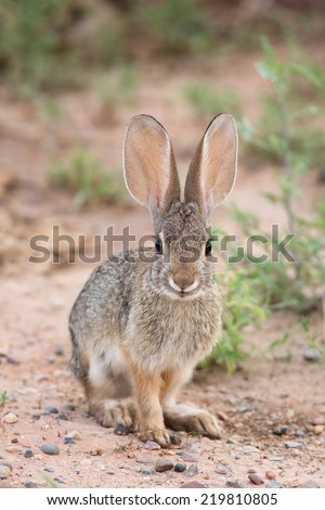 A Desert Cottontail Rabbit keeps on the alert in northern Arizona.