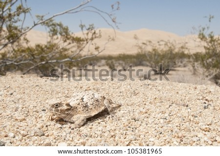 A desert horned lizard with the Kelso Dunes in the background.