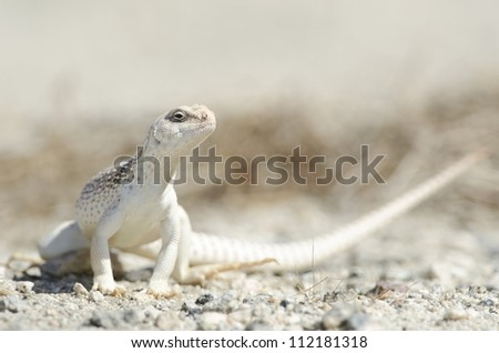 A desert iguana in the Coachella Valley of Southern California.
