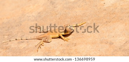 A Desert Iguana in the Valley of Fire State Park near Las Vegas, Nevada.