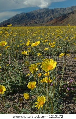 A desert sunflower with a background of yellow flowers and desert mountains. Death Valley, CA.