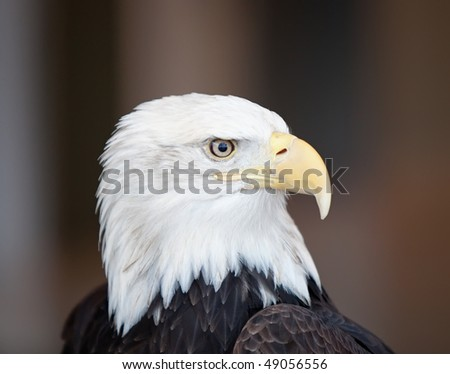 A detailed closeup portrait of an American Bald Eagle against a brown background.