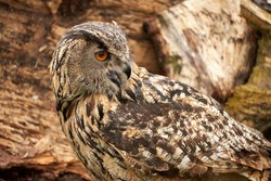 A detailed head of an adult owl chick eagle owl. Seen from the side, orange eyes
