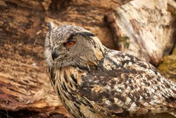 A detailed head of an adult owl chick eagle owl. Seen from the side, orange eyes.