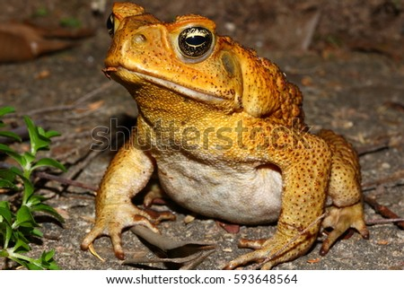 A detailed photograph of a Cane Toad, taken in suburban Brisbane, Australia.